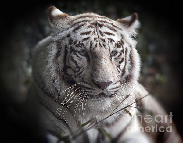 The Tiger's  Watchful Eye Print by Heinz G Mielke