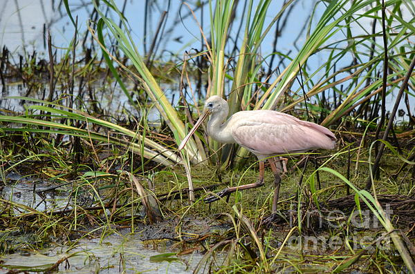 Young Roseate Spoonbill Print by Kathy Gibbons