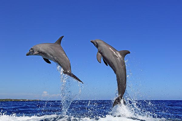 delphin pop