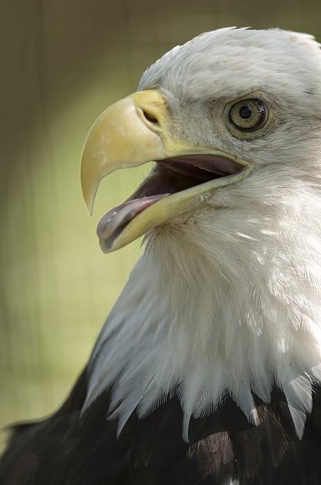 A Bald Eagle Haliaeetus Leucocephalus Print by Joel Sartore