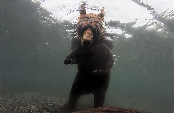 A Brown Bear Fishing For Salmon Print by Randy Olson