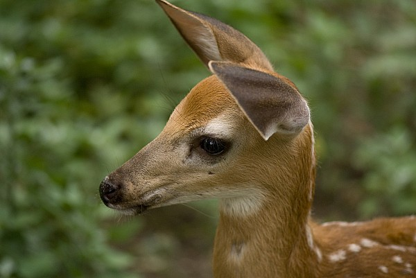 A Fawn At A Wildlife Rescue Members Print by Joel Sartore