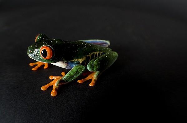 A Red-eyed Tree Frog Agalychnis Print by Joel Sartore