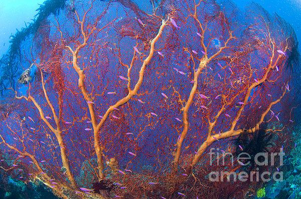 A Red Sea Fan With Purple Anthias Fish Print by Steve Jones