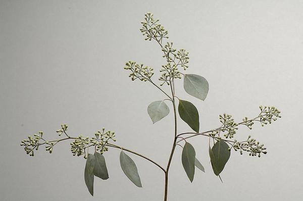 A Seeded Eucalyptus Eucalyptus Cinerea By Joel Sartore