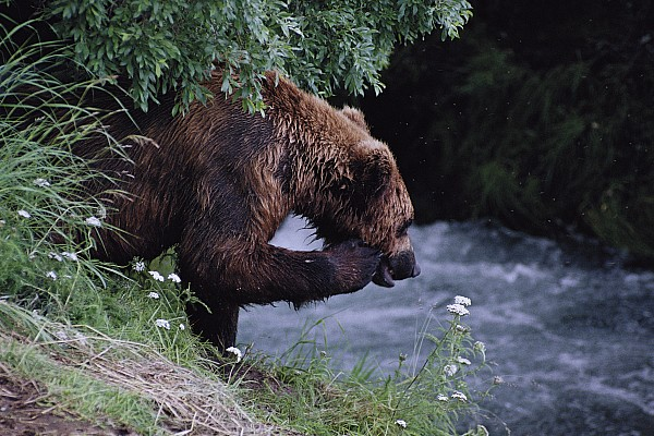 A Young Grizzly Bear Ursus Arctos Print by Paul Nicklen