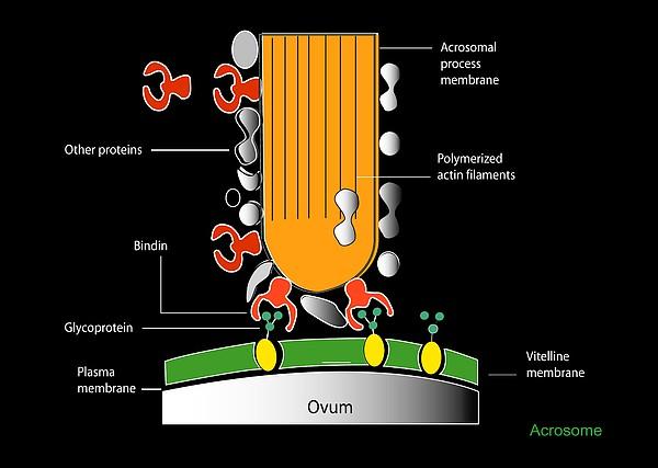Acrosome Reaction, Artwork Print by Francis Leroy, Biocosmos