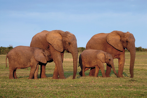 African Elephants Print by Peter Chadwick