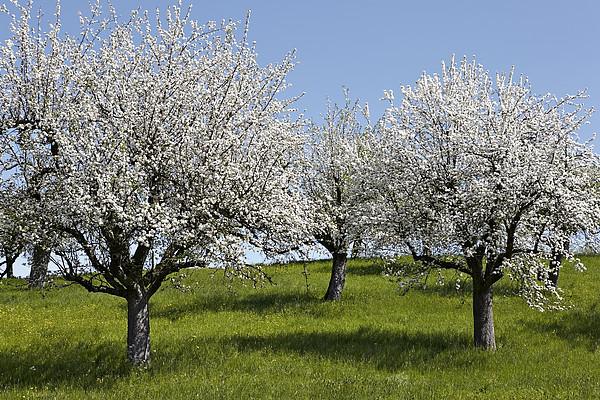 Apple Trees In Full Bloom Print by Wilfried Krecichwost