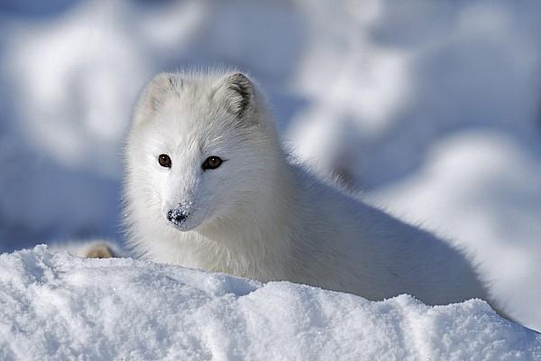 Arctic Fox Exploring Fresh Snow Alaska Print by David Ponton