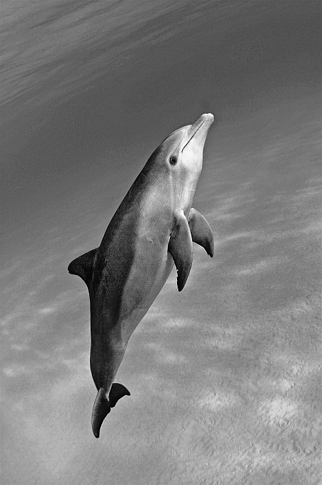 Atlantic Bottlenose Dolphin by Dave Fleetham - Printscapes