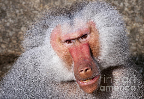 Baboon Print by Andrew  Michael