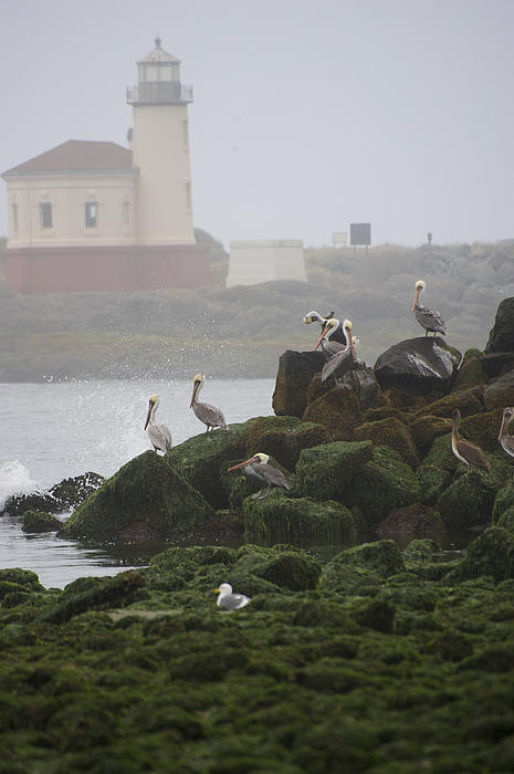 Veronica Busch - Bandon lighthouse an pelicans