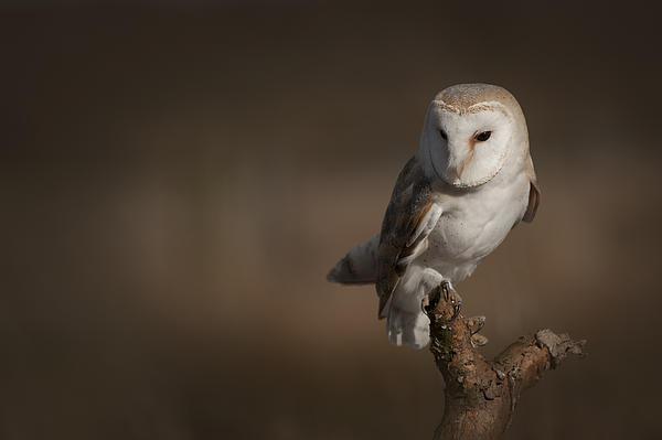 Barn Owl Print by Andy Astbury