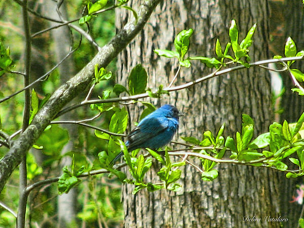 Blue Bird Of Happiness  Print by Debra     Vatalaro