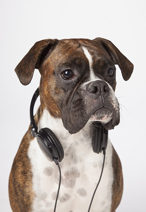 Boxer Dog With Headphones Print by LJM Photo