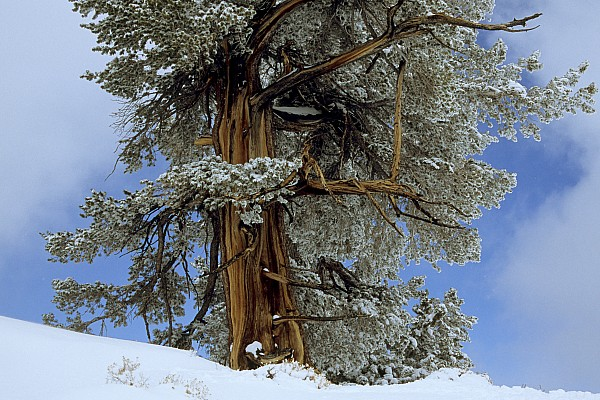 Bristlecone Pine Tree Blanketed In Snow Print by Tim Laman