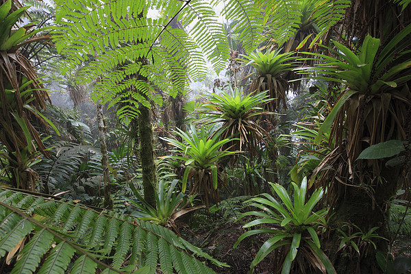 Bromeliad Bromeliaceae And Tree Fern Print by Cyril Ruoso