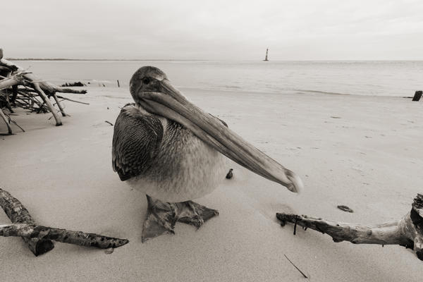 Brown Pelican Morris Island Lighthouse Folly Beach Sc Photograph  - Brown Pelican Morris Island Lighthouse Folly Beach Sc Fine Art Print