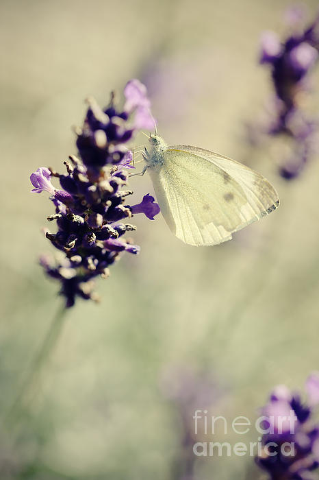 HJBH Photography - Butterfly..