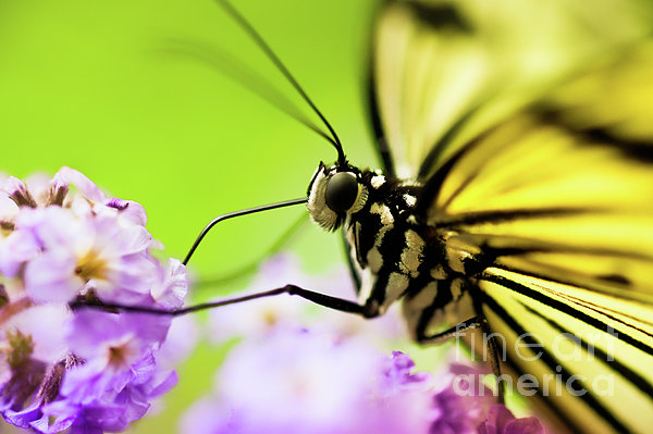 Butterfly Print by Sebastian Musial