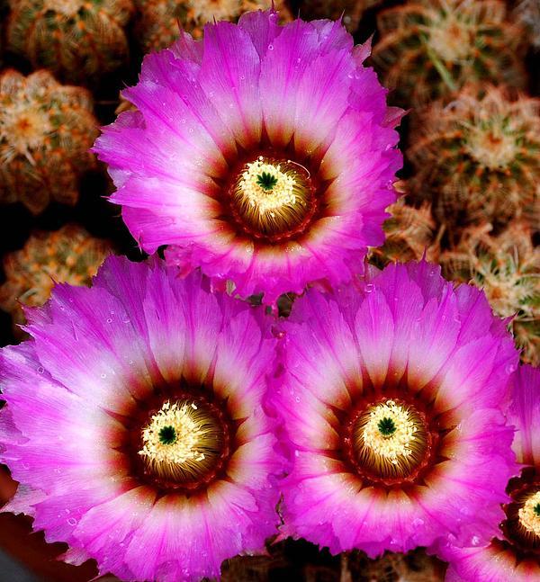 DiDi Higginbotham - Cactus Flowers 2