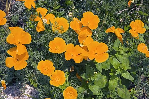 Californian Poppy (eschscholzia Sp.) Print by Dr Keith Wheeler