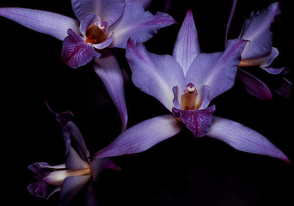Cattleya Orchids Print by Cynthia Dickinson