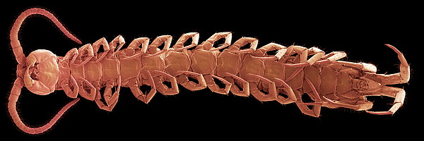 Centipede Underside, Sem Print by Steve Gschmeissner