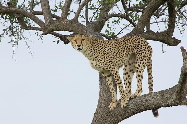 Cheetah Acinonyx Jubatus Female Print by Suzi Eszterhas