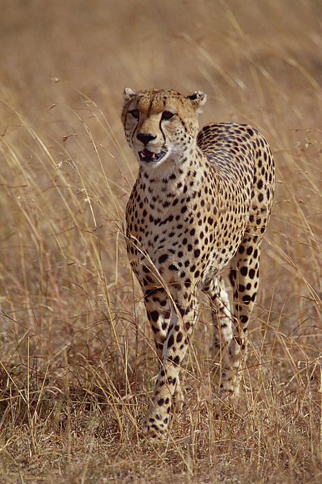 Cheetah Acinonyx Jubatus Portrait Print by Gerry Ellis