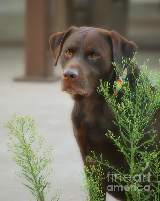 Donna Van Vlack - Chocolate Labrador - Womans Best Friend