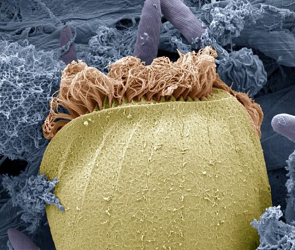 Ciliate Protozoan Membranelles, Sem Print by Steve Gschmeissner