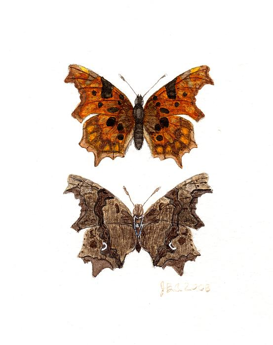 James Alden - Comma Butterfly