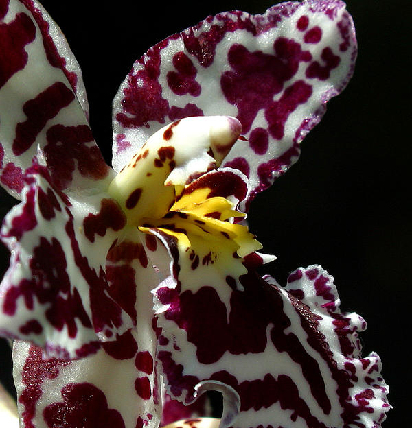 Cribet Exotic Orchids Print by C Ribet