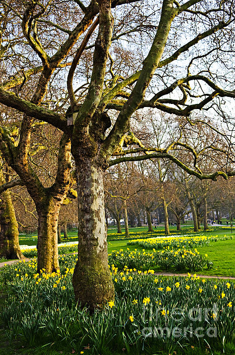 Daffodils In St. James's Park Print by Elena Elisseeva