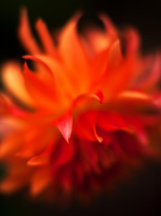 Dahlia Flame Print by Mike Reid