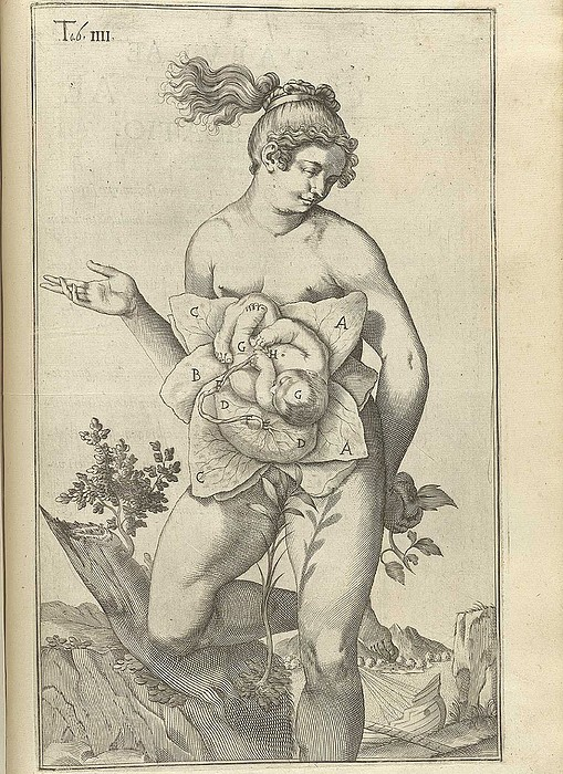 Development Of The Fetus. Female Figure Print by Everett
