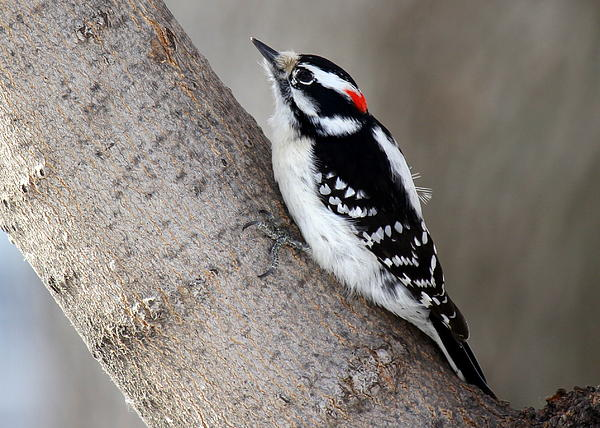 Susan Schwarting - Downy Woodpecker