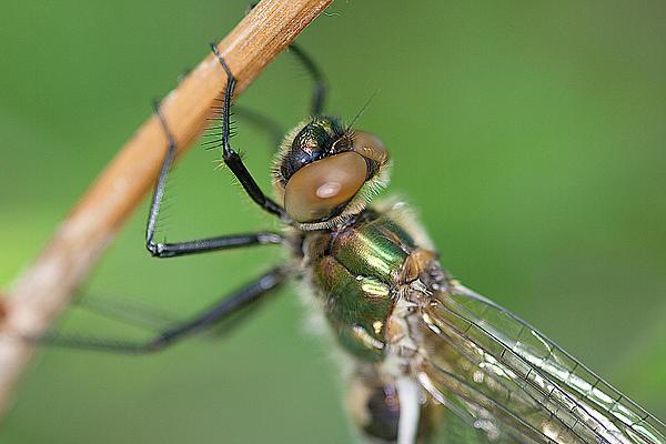 Dragonfly Print by Gert Lavsen