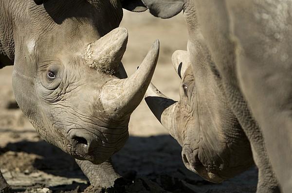 Eastern Black Rhinoceros Print by Joel Sartore