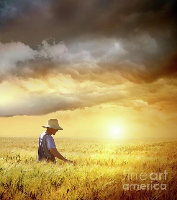 Farmer Checking His Crop Of Wheat  Print by Sandra Cunningham