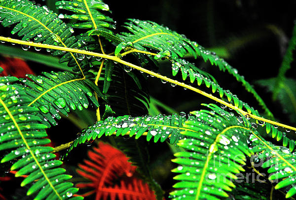 Ferns And Raindrops Print by Thomas R Fletcher