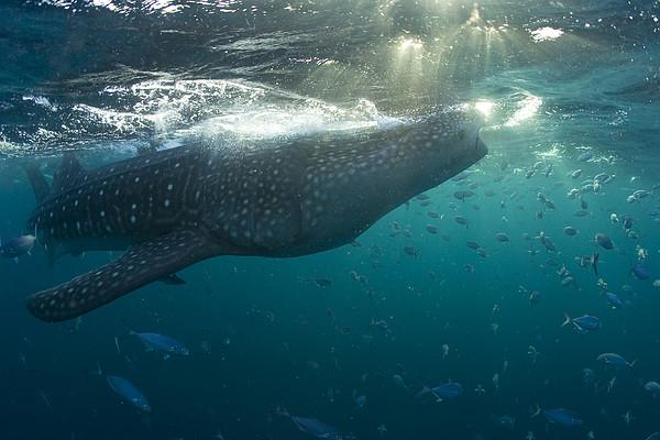 Fish Following A Whale Shark Print by Paul Nicklen