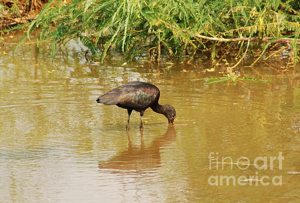 Glossy Ibis Print by Kathy Gibbons