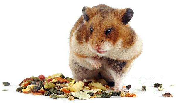 Golden Hamster Print by Jane Burton