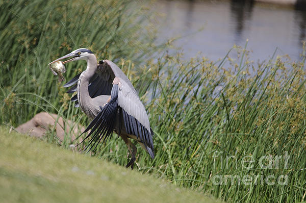Great Blue Heron Print by Donna Van Vlack