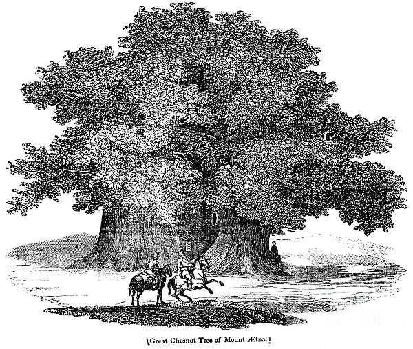 Great Chestnut Tree Print by Granger