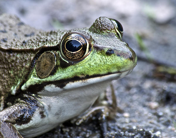 Green Frog Print by Michael Peychich