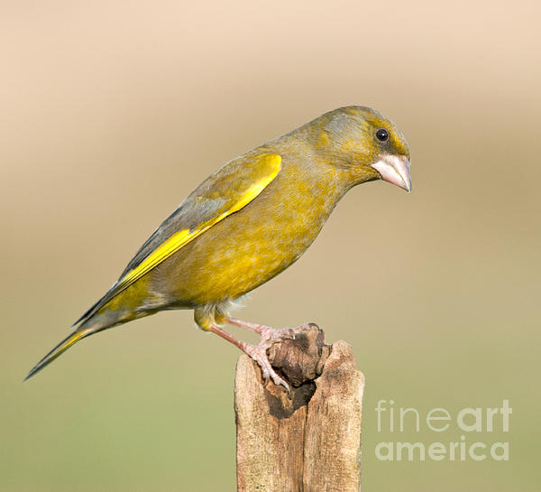 M S Photography Art - Greenfinch